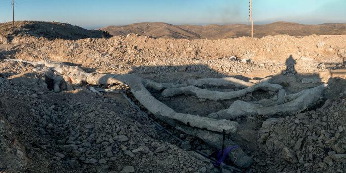 Εντυπωσιακό απολιθωμένο δένδρο με τα κλαδιά του βρέθηκε στη Δυτική Λέσβο </br>Εντοπίσθηκε κατά την διάρκεια σωστικών ανασκαφών στον οδικό άξονα Καλλονής – Σιγρίου