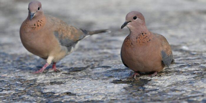 Ανακαλύφτηκε στη Λέσβο νέο αναπαραγόμενο είδος πουλιού για την Ελλάδα</br> Φοινικοτρύγονο παρατηρήθηκε στη Μυτιλήνη
